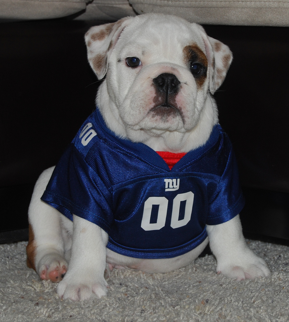 buy popular ed954 f191e new york giants dog jersey