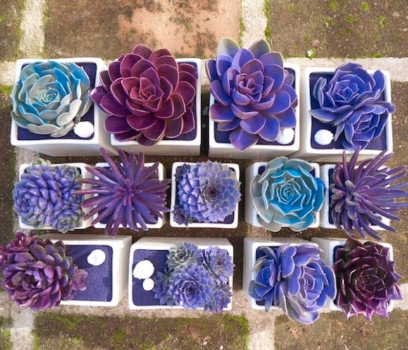succulents-purple