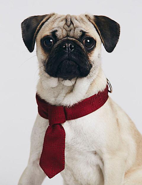 pug in tie
